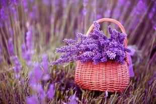 Aromaterapia - lavanda