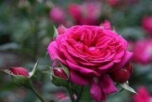 Aromaterapia - rosa